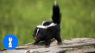 Baby Skunks Playing & Stomping // Cute + Funny Compilation