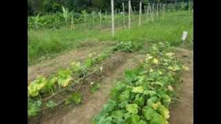 Cultivo de auyama