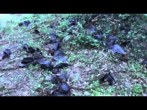 Australian Heat Wave Bats Heat Wave Kills 100,000 Bats