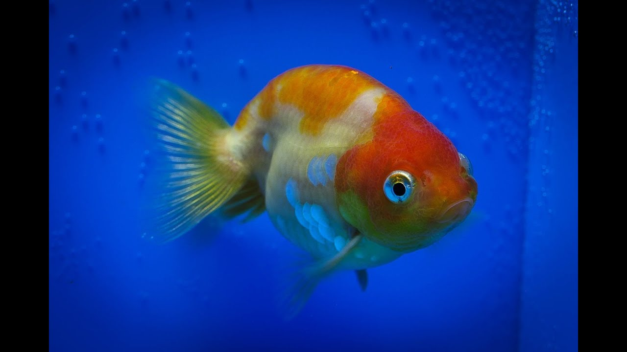Sold ranchu goldfish for sale fb166 youtube for Gold fish for sale