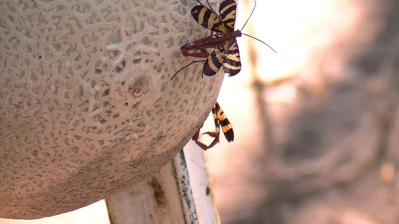 flying scorpions youtube