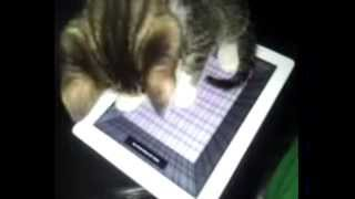 Cute kitten plays with Ipad