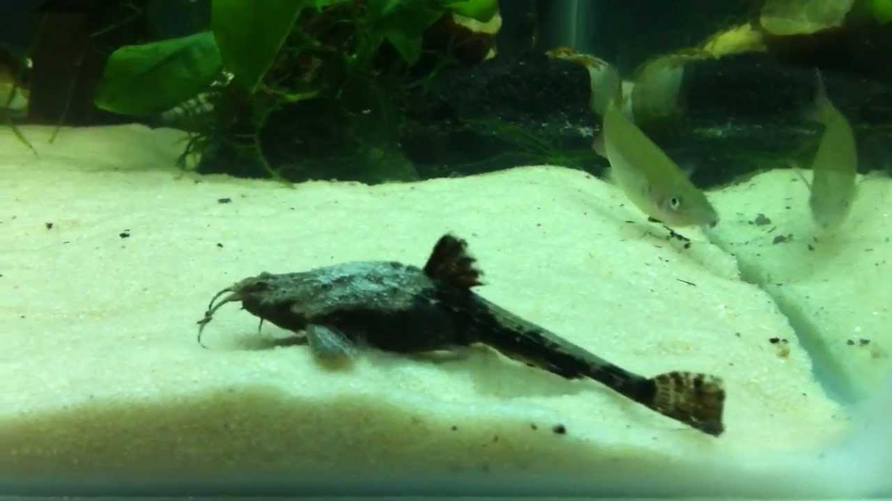 See the banjo catfish in action! - YouTube