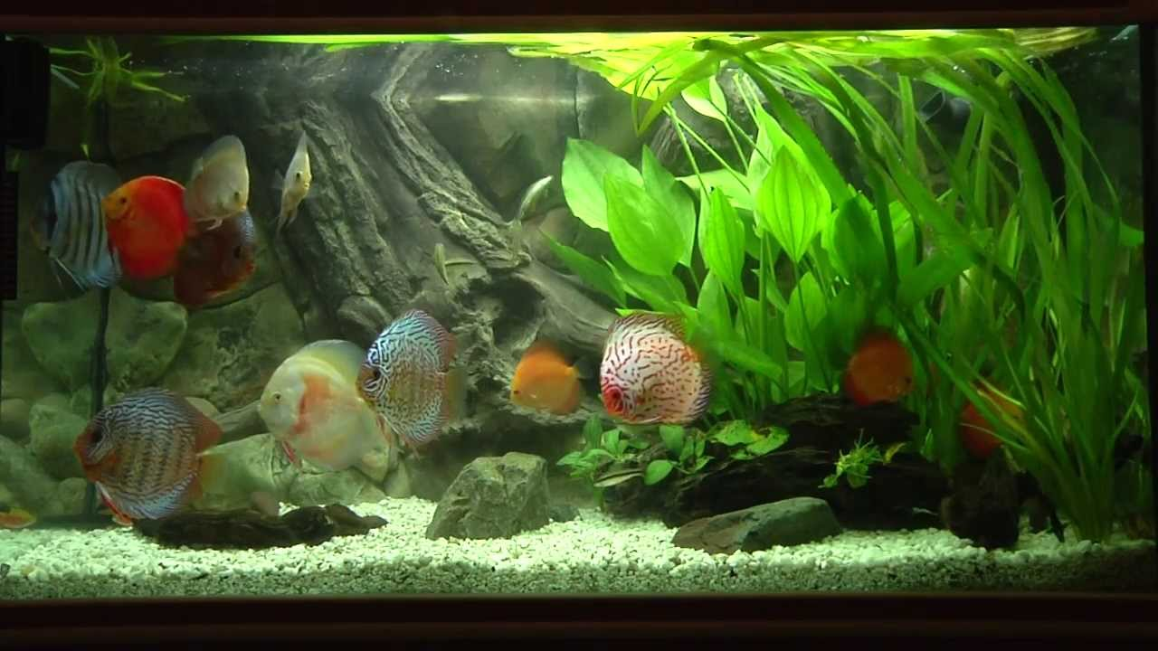 Discus fish tank youtube for Youtube fish tank