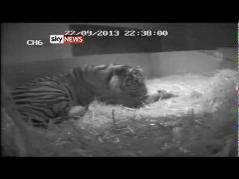 Tiger Birth At London Zoo Caught On Camera