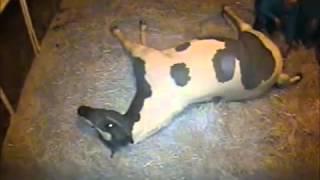 Jasmine - Foaling 2016