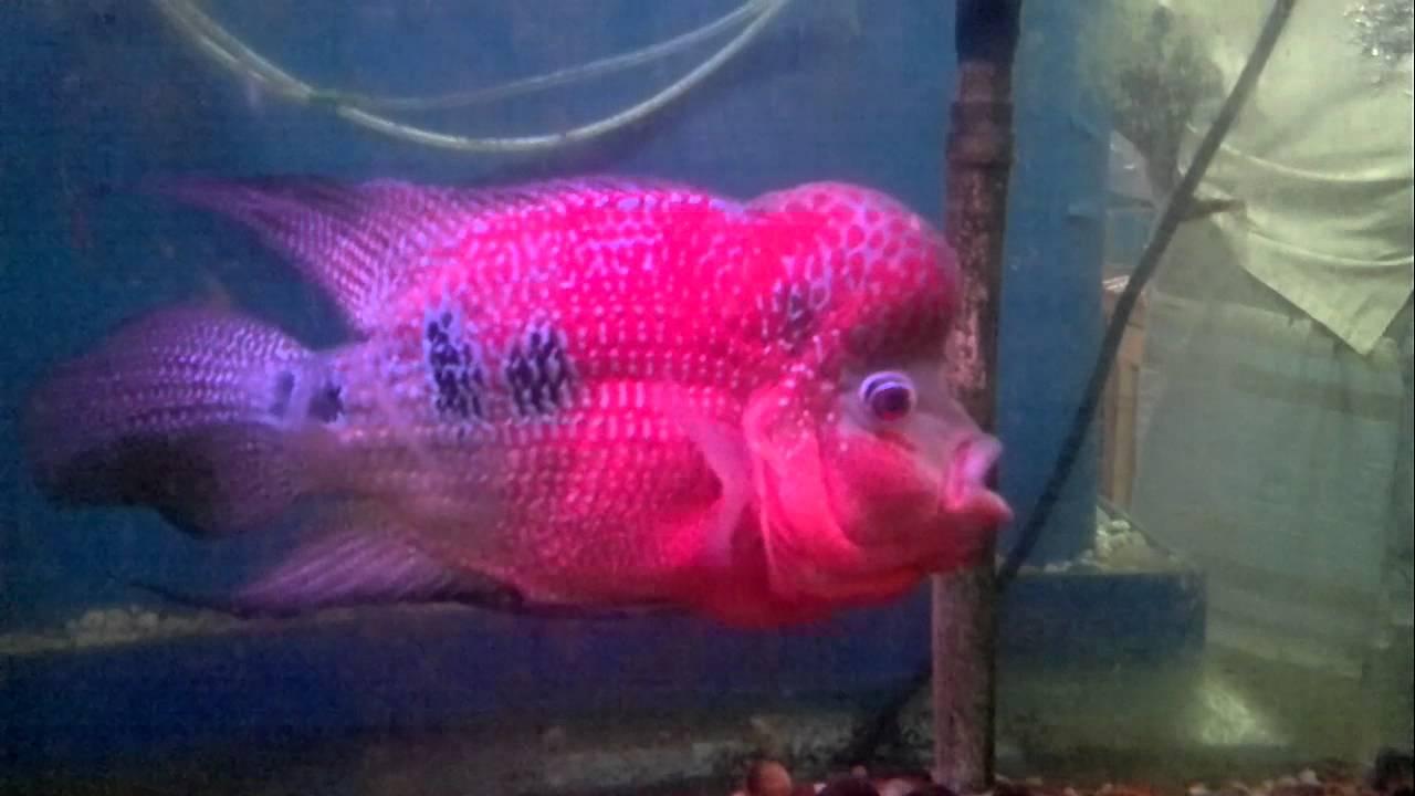 florean fish