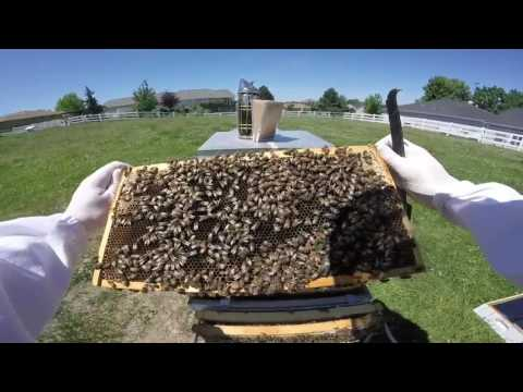 (5/27/2017) Hive Inspection - Culling Bad Queen