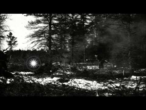 German prisoners of war cut huge pine trees in a forest area at Camp Evelyn in Mu...HD Stock Footage