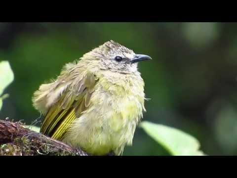 Flavescent Bulbul - Birdwatching Thailand