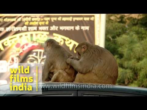 Mating : monkey man with his woman atop a car!