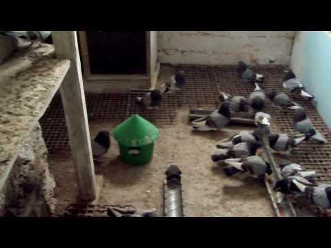 çorum güvercinleri