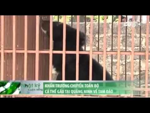 Khẩn trương chuyển toàn bộ cá thể gấu tại Quảng Ninh về Tam Đảo