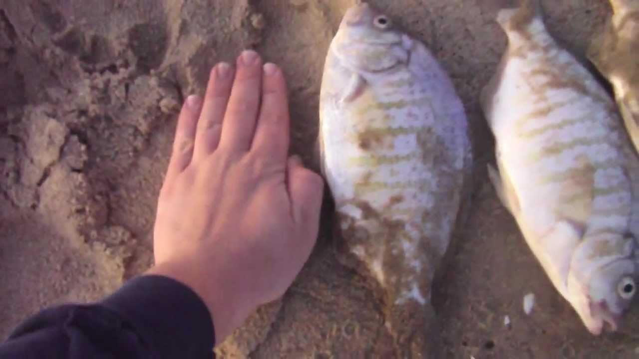 Get bit sportfishing epic perch fishing southern for Surf fishing southern california
