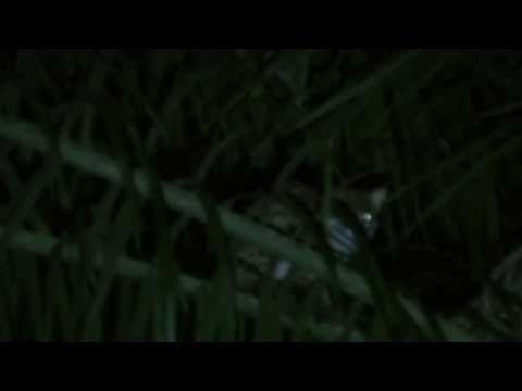 Leopard cat spotted during night survey in oil palm, Borneo