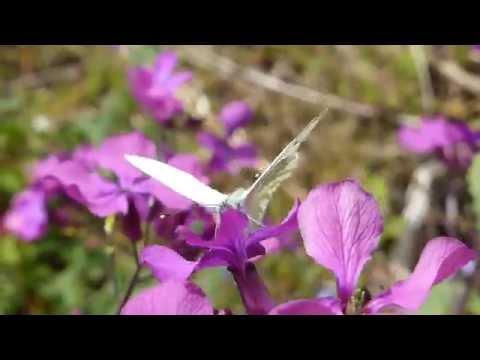 Small White Butterfly -  Artogeia rapae  - Fiðrildi -  Kálfiðrildi - Kálskjanni  - Mánasjóður