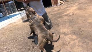 PITBULLS BLUE PITS BULLY KENNELS. BIGGEST AMERICAN PIT