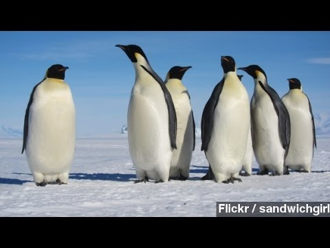 Study Tracks Penguin Migration By Looking At Poop From Space