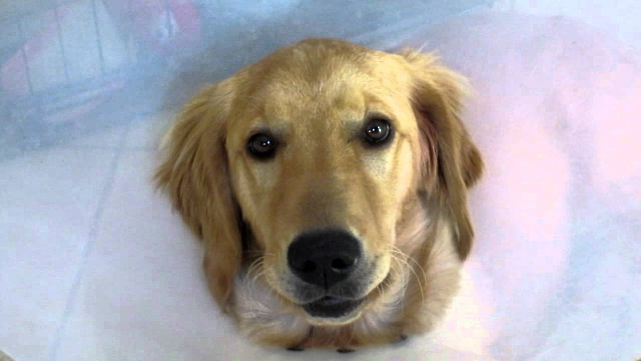 Un bébé Golden Retriever chante
