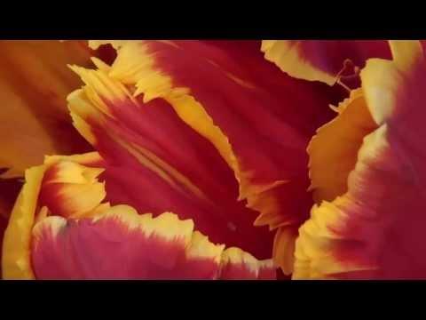 Srinagar - Tulip garden - 3