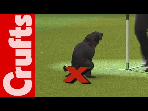 Dog Takes a Dump During Agility Course