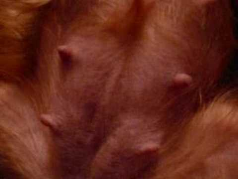 Pregnant Yorkshire Terrier Belly - Dog Training - YouTube Yorkshire Terrier 5 Weeks Pregnant