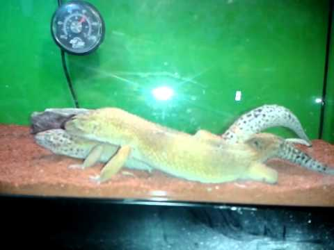 lézard reptile rai'uk ( l'accouplement du gecko léopard avec neytiri et rai'uk du 13/04/14...)