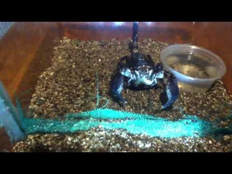Escorpion emperador teniendo crias