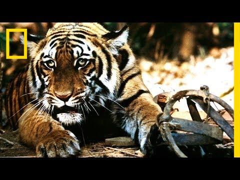 Battling India's Illegal Tiger Trade
