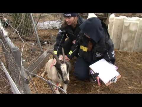 Rescued Goat Walks Again