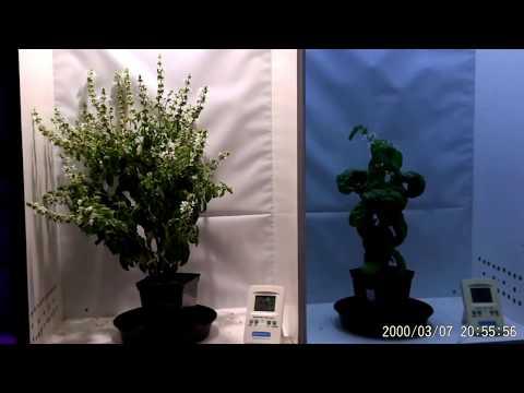 MiGro COB LED vs CFL growing Basil - The Result!