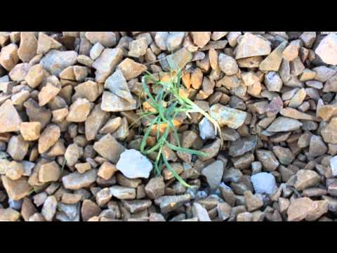 Weeds growing through weed barrier