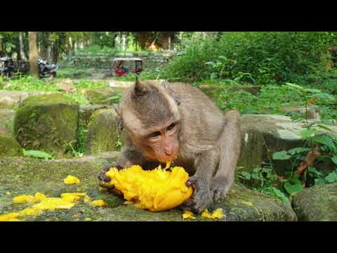 Poor baby monkey eating mango fruit , he gets hungry so much