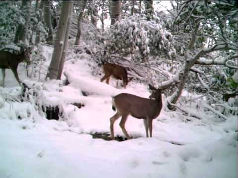 Group of Mule Deer Captured in Northern Nevada Trail Cam