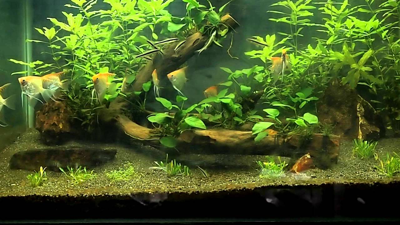 My Planted Aquarium w/ Pink Diamond Angel fish. (1 month ...