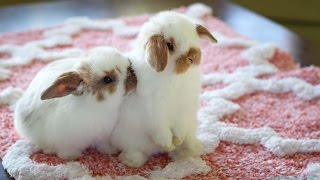 Cute Baby Holland Lop Bunnies Playing Inside the House