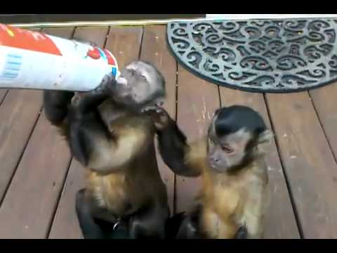 Cute Monkeys Love Whipped Cream,