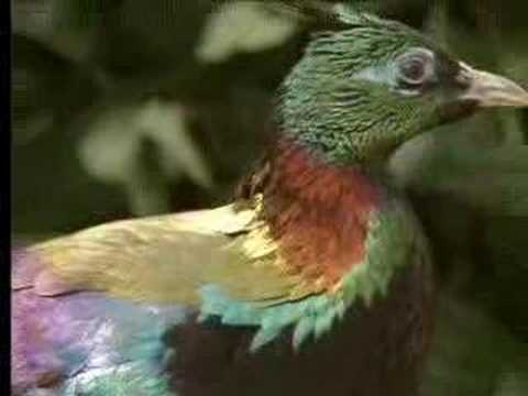 BBCWorldwide - Male birds show off their beauty to attract females - David Attenborough  - BBC wildl
