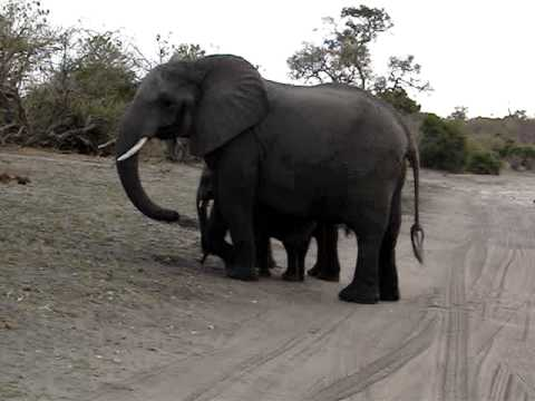 Baby elephant sneezes and scares himself., Baby elephant sneezes and scares himself.