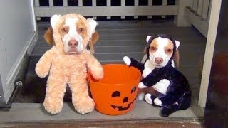Dogs Go Trick or Treating on Halloween