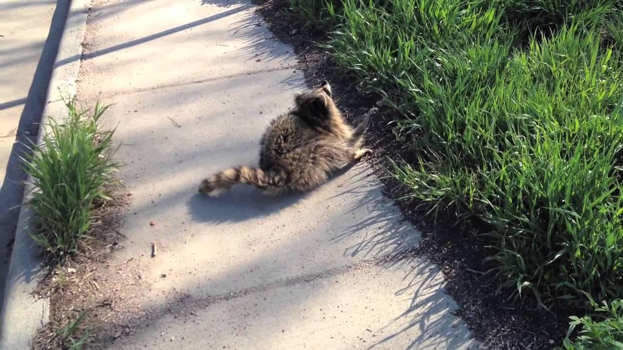 Cute but terrifying: Animal Control nabs Rabid Raccoon ... Raccoon With Rabies Foaming