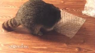 Raccoon Popping Bubble Wrap