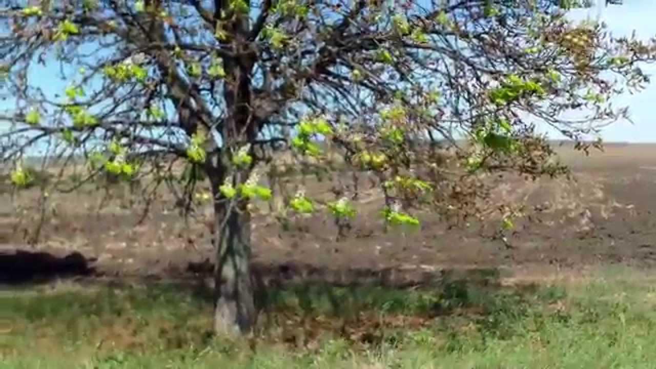 Castani înfloriți la sfîrșit de august în nordul Moldovei