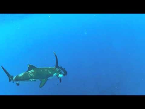 Shark Eat Shark !
