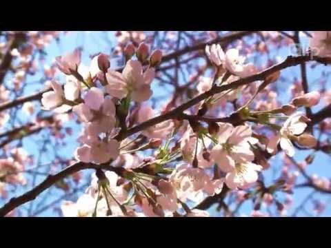 Du lịch Nhật Bản - Khung cảnh hoa anh đào bay tuyệt đẹp tại Nhật Bản