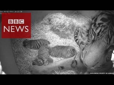 3 cute Sumatran tiger cubs at London Zoo - BBC News