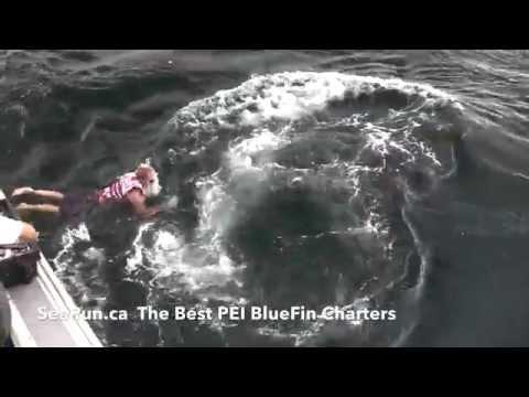 Swimming with giant tuna