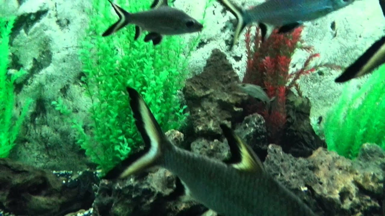 Freshwater aquarium fish shark shark is the bala or for Shark fish tank