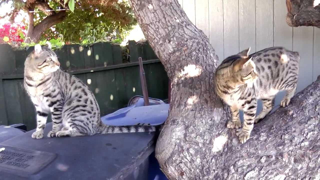Desert lynx house cat