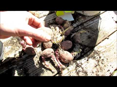 A Quick & Easy Planting of Seed Potatoes in 5 Gallon Containers: A Bucket of Small & Baby Potatoes!